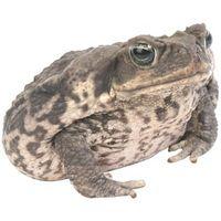 Las diferencias entre las ranas de cerdo y las ranas toro