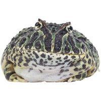 Cómo hacer una rana toro