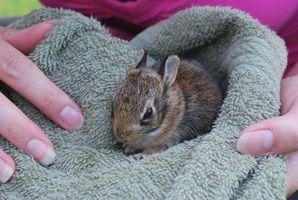 Cuidar a un bebé de gato conejo