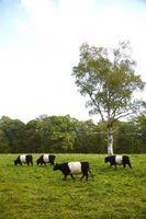Cómo criar ganado