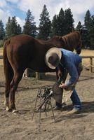 ¿Cómo zapatos un caballo con babillas mal?