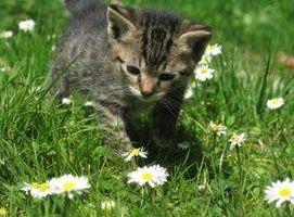 Tratamiento de pulgas para los gatitos