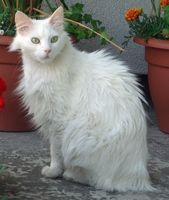 Sobre el gato de Angora Turco