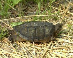 Como liberar una tortuga de ajuste a la naturaleza