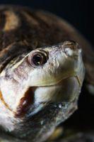 Veterinarios que cuidan las tortugas