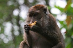 La dieta del macaco japonés