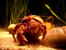 Cómo hacer una escalada red para cangrejos ermitaños