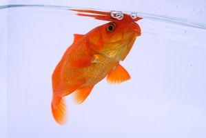 Cómo quitar los productos químicos del agua para un tanque de peces de colores