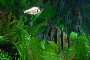 Cómo iniciar un ciclo de tanque de peces tropicales
