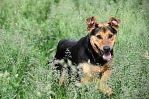 Tratamiento homeopático de las alergias en los perros