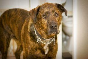 Información sobre la sarna en perros