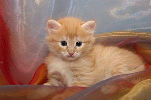 Cómo caja tren de camada un gato nuevo