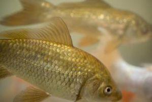 Cómo controlar los nitritos en un tanque de peces