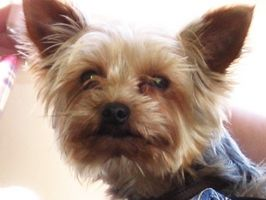 es la diabetes común en los yorkshire terriers