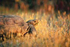 Descripción de una tortuga del Gopher