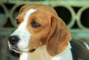 Cáncer en perros Beagle