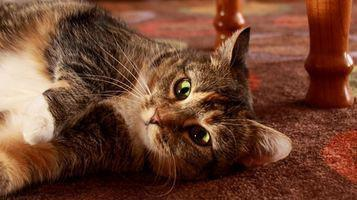 Síntomas de la melamina en los gatos