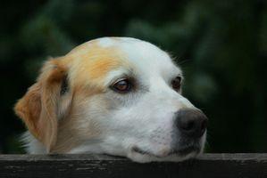 La vida de los perros con enfermedad del higado