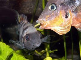 Cómo limpiar un tanque de peces después de una enfermedad