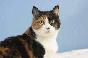 Los efectos de los ácaros del oído en gatos