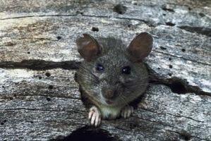 Dieta buena en proteínas para las ratas