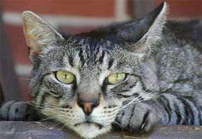 Enfermedades incurables gato