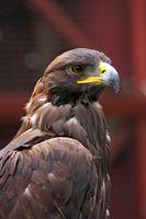 Cómo medir un halcón de cola roja para una campana de