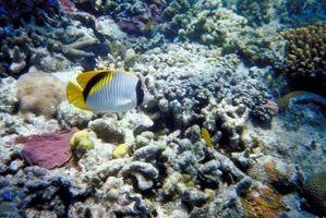 Especies en peligro de extinción en los arrecifes de Coral