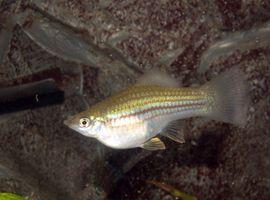 Cómo saber la diferencia entre macho y hembra peces Molly