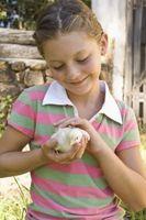 Los mejores gallos para un patio pequeño