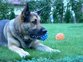 Tratamientos homeopáticos para el cáncer pancreático canino