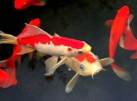 Ciclo de vida de los peces de estanque