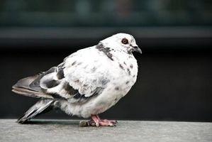 Cómo construir un aviario al aire libre del vestidor para palomas