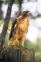 El comportamiento del halcón de cola roja