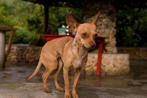 ¿Qué debo hacer cuando mi Chihuahua tiene un dolor de estómago?