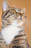 Síntomas del estreñimiento felino