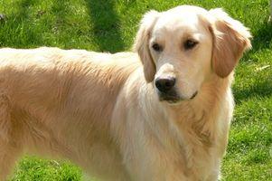 Infección del oído del perro perdiguero de oro