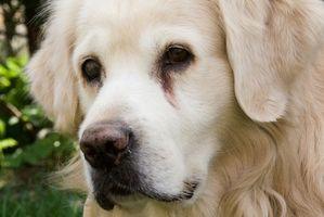 Remedios naturales para la sarna roja en perros