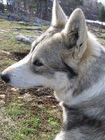 Aceites esenciales buenos para las heridas en perros