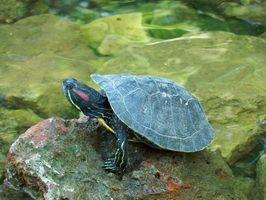 ¿Cómo sé si mi tortuga necesita agua?