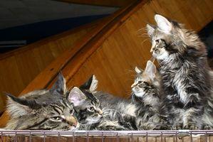 Cómo obtener su gato Use la caja de arena