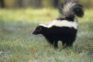 Retiro del olor Skunk