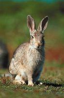 Cómo construir un área de anidación para conejos salvajes