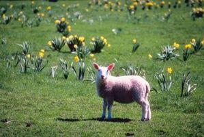 ¿Cuánto heno necesita una oveja?