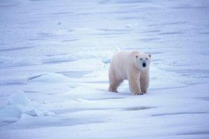 Cómo dibujar los osos polares fácil