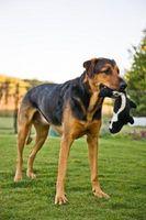 Cómo hacer juguetes interactivos para perros
