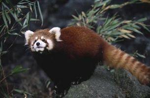 Como hacer un Panda de rojo del tamaño de la vida