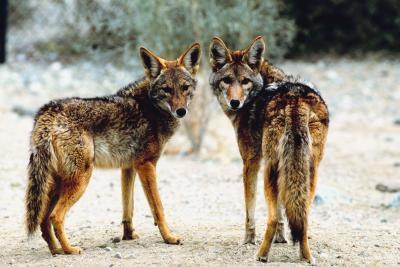¿Qué sonidos hacen los Coyotes en un grupo?