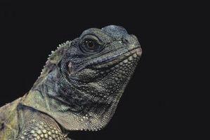Cómo saber la diferencia entre un dragón de agua macho y hembra