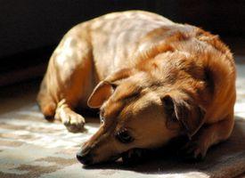 Síntomas de Lyme canina
